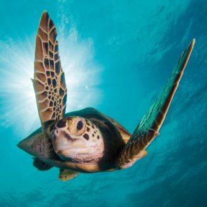 Green turtle - BBC Earth Greetings Card