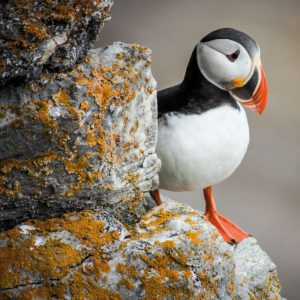 Puffin - BBC Earth Greetings Card