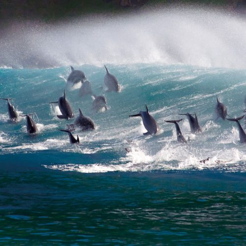 Surfing Bottlenose Dolphins - BBC Earth Greetings Card