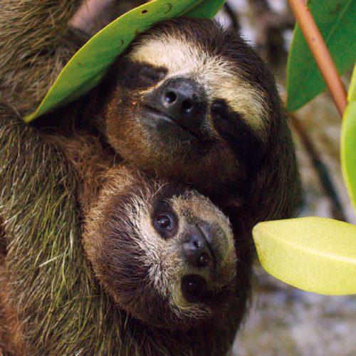 Pygmy Three-toed Sloth - BBC Earth Greetings Card